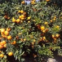 estrategias-de-riego-de-citricos
